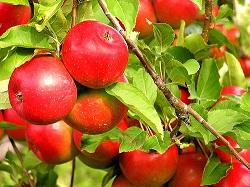 りんごの香りに癒されます。